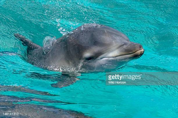 Newborn bottlenose dolphin calf female on the day she was born Tursiops truncatus Newborn baby Lina just minutes after birth Dolphin Academy...