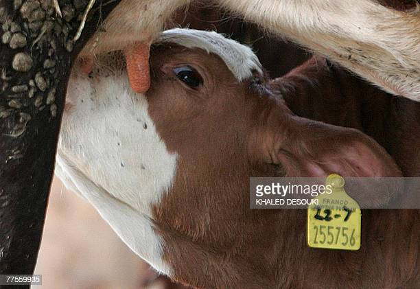 A newborn calf drinks milk at a farm in Beni Sueif 200 kms south of Cairo 29 October 2007 The animal belongs to the fourth generation of cows born...