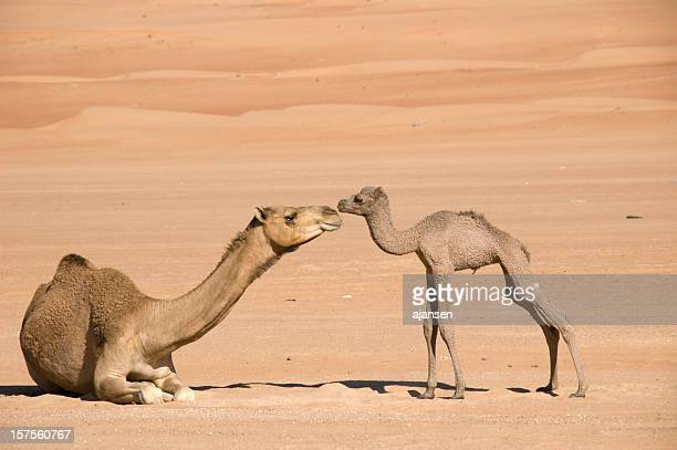Newborn camel and its mother bonding together in the desert