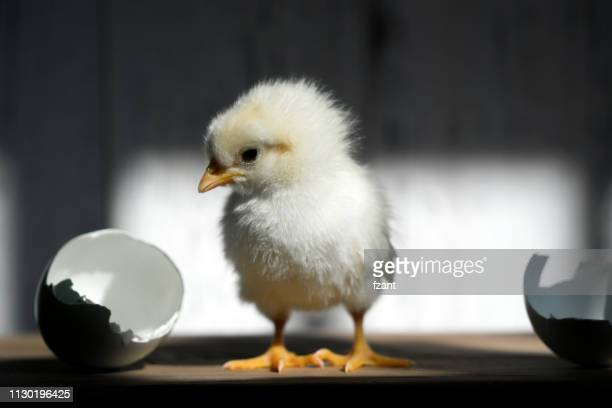 newborn chick - hatching stock pictures, royalty-free photos & images