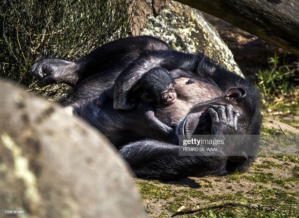 NETHERLANDS-ANIMAL-CHIMPANZEE : News Photo
