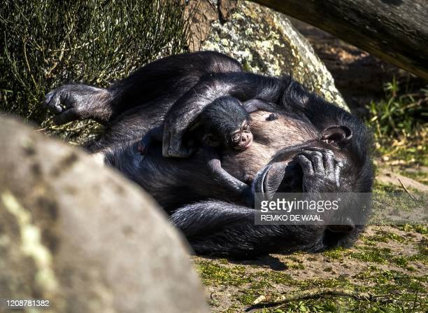 A newborn chimpanzee walks outside with its mother Pepa at the Beekse Bergen Safari Park in Hilvarenbeek The Netherlands on April 1 April 2020 /...