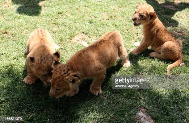 3 newborn cubs walk around at a zoo in Rafah Gaza on September 08 2019 Lion cubs born in August at a zoo of Gaza Strip pass their times with their...