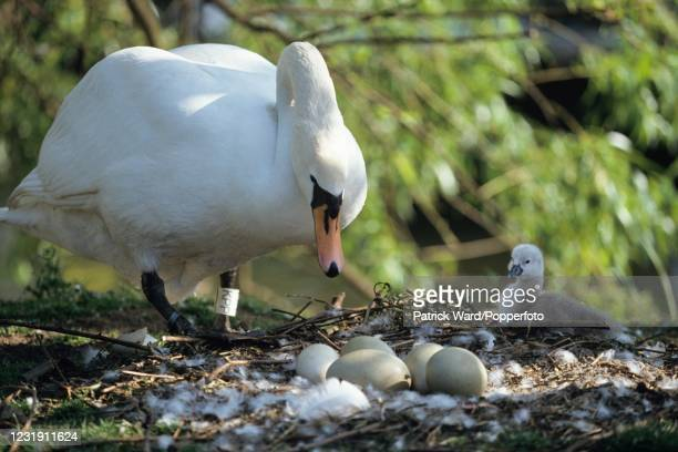 New-born cygnet, with the mother swan inspecting her unhatched eggs on Tagg's Island, Richmond upon Thames, England, circa June 1993.