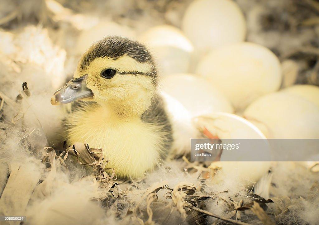 Newborn duckling : Stock Photo