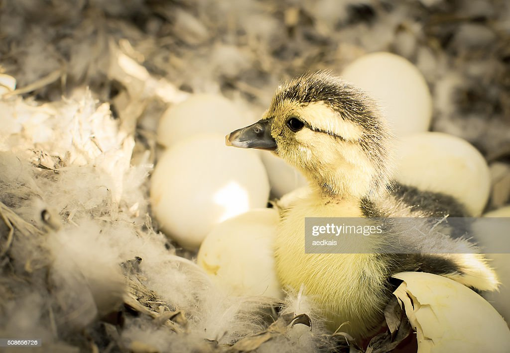 Newborn duckling : Stock Photo