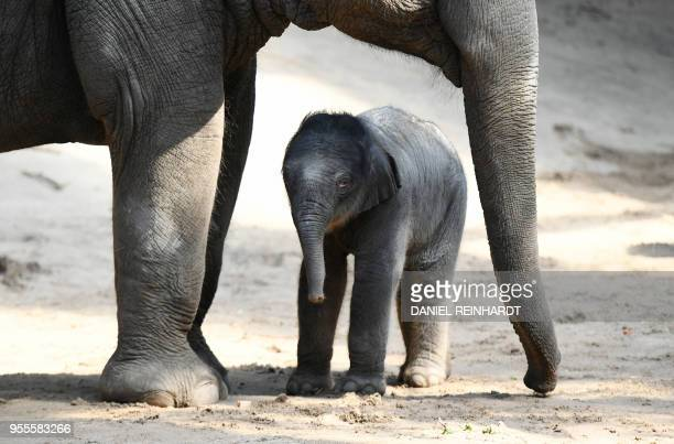 Newborn elephant calf stands beside his mother Shila in the animal park Hagenbeck in Hamburg, Germany on May 07, 2018. / Germany OUT