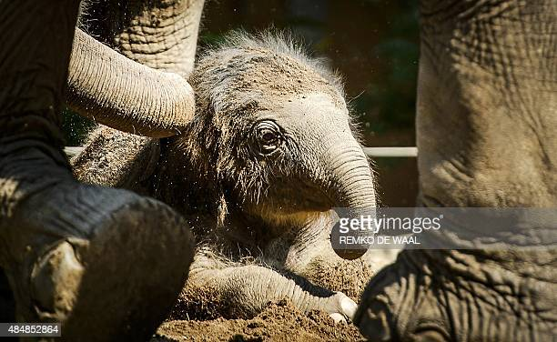 A newborn elephant is pictured in his enclosure at the Blijdorp Zoo in Rotterdam on August 22 2015 According to a spokesperson of the zoo the baby...