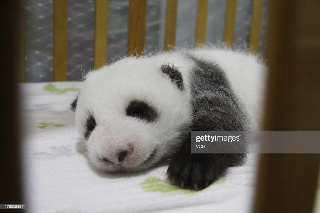 A newborn female giant panda is seen at Shaanxi Province Rare Wildlife Rescue and Breeding Research Center on September 2, 2013 in Xi An, China. 8-year-old giant panda Xin Xin gave birth to the baby on July 18 after being artificially inseminated.