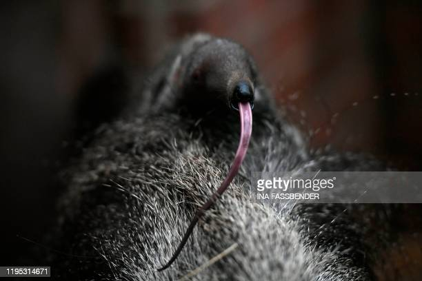 Newborn giant anteater puts out his tongue while sitting on his mother Zenobia in their enclosure at the zoo in Dortmund, western Germany, on January...