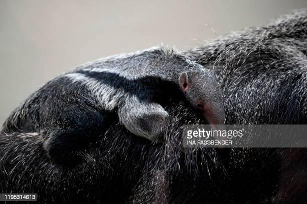 Newborn giant anteater sits on his mother Zenobia in their enclosure at the zoo in Dortmund, western Germany, on January 22, 2020.