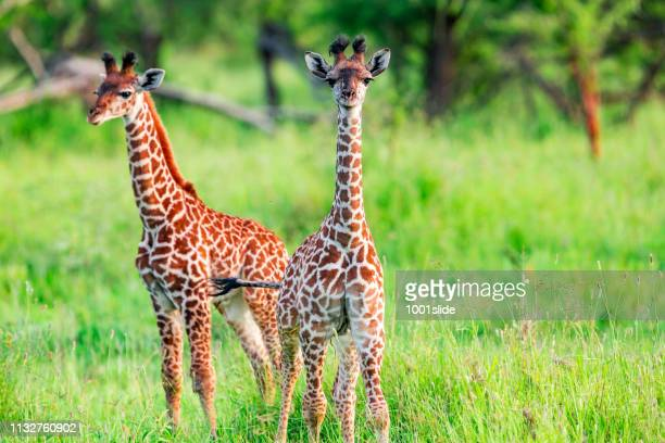 newborn giraffe calf with umbilical cord at wild in serengeti - giraffe stock pictures, royalty-free photos & images