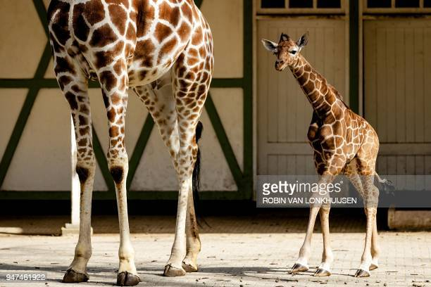 A newborn giraffe follows it's mother outside into their enclosure for the first time at Artis Zoo in Amsterdam on April 17 2018 / AFP PHOTO / ANP /...