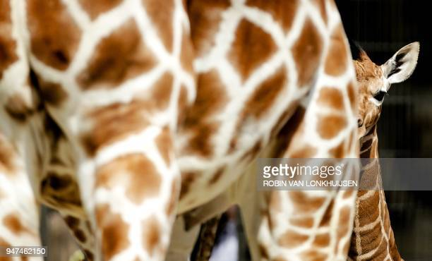 A newborn giraffe stands behind it's mother as their wonder for the first time outside into their enclosure at Artis Zoo in Amsterdam on April 17...