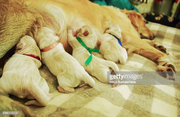 Newborn golden retriever puppies nursing