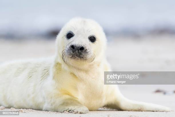 newborn gray seal (halichoerus grypus) lying on the beach, heligoland, schleswig-holstein, germany - seal pup stock photos and pictures