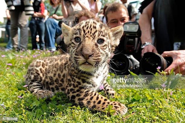 Newborn jaguar cubs are presented at Tierpark Berlin on May 19 2009 in Potsdam Germany The triplets of the female jaguar called Anafi are appearing...