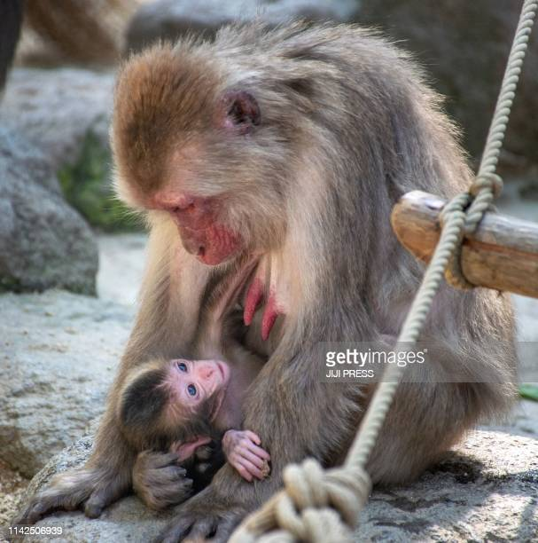 A newborn Japanese macaque named Reiwa the same name as Japan's new era is held by her mother at the Takasakiyama Natural Zoological Garden monkey...
