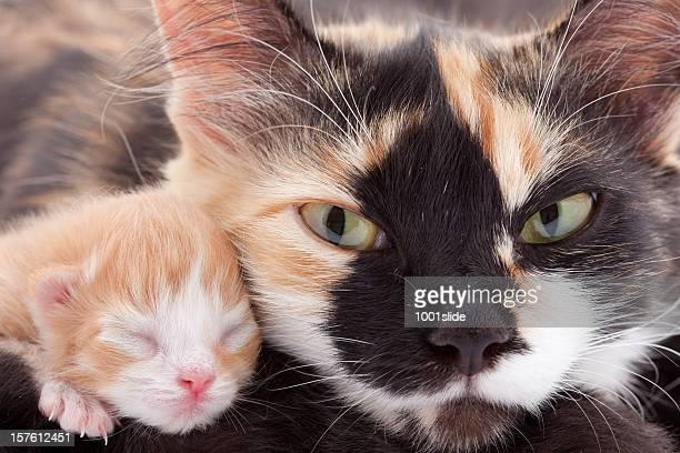 recém-nascidos um gatinho com a mãe: angry gato olhos! - filhote de animal - fotografias e filmes do acervo