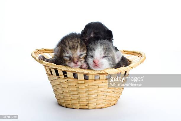 newborn kittens in a basket - gattini appena nati foto e immagini stock