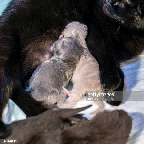 newborn kittens with mother sleeping and suckling - teat fighting - gattini appena nati foto e immagini stock