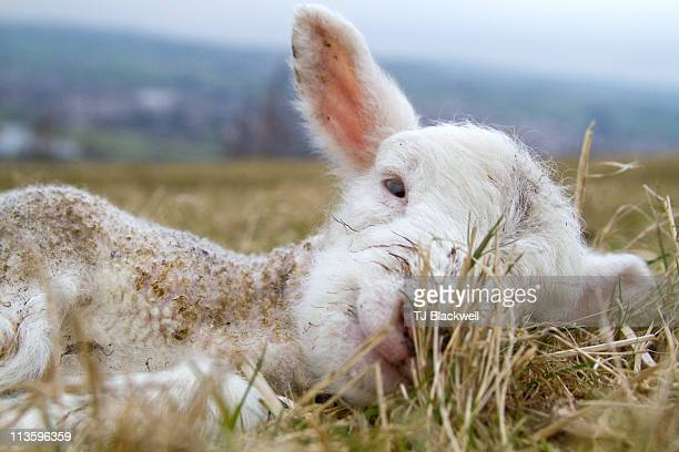 newborn lamb - オトレイ ストックフォトと画像