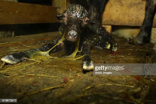 newborn lamb - placenta foto e immagini stock