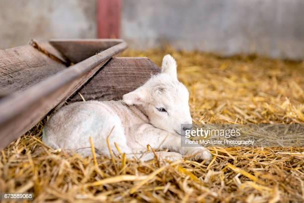 newborn lamb - agnellino foto e immagini stock
