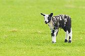 https://www.istockphoto.com/photo/newborn-lamb-gm996493074-269670736