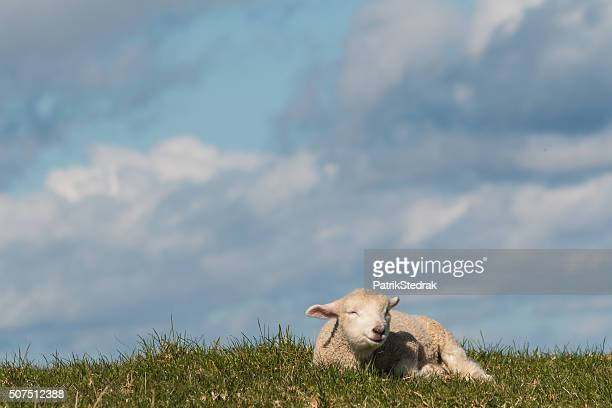 isolated newborn lamb resting on grass