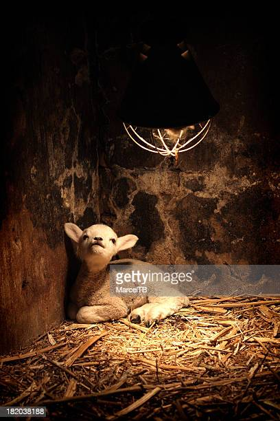 Newborn lamb under the lamp