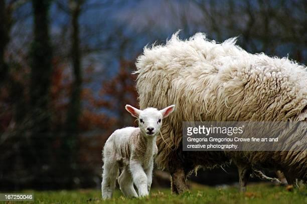 newborn lamb with mother. - gregoria gregoriou crowe fine art and creative photography stockfoto's en -beelden