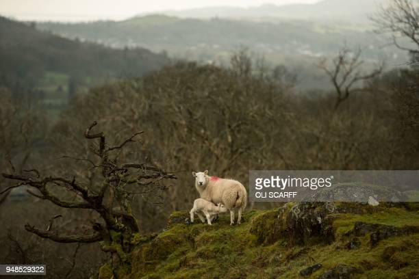 Newborn lambs and sheep graze on Pip Simpson's farm at Wansfell hill, above Troutbeck village in the Lake District National Park, near the town of...