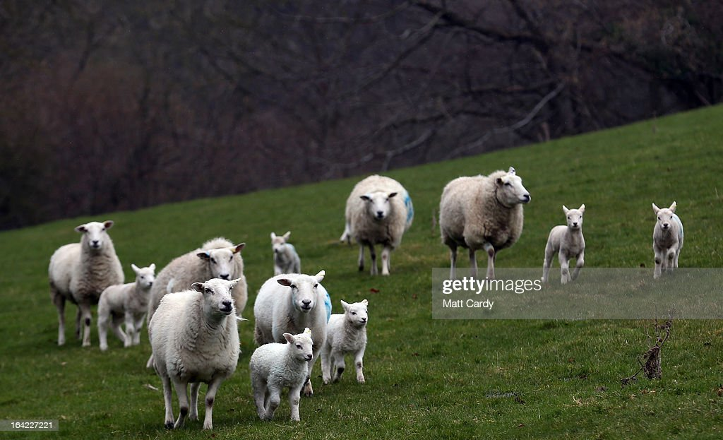 Newborn lambs and their mothers run in a field on a farm in the Wiltshire village of Edington, on March 21, 2013 near Westbury, England. Despite the poor weather the lambing season, which normally runs from February to May, is well under way and many farmers across the UK are on the lookout for signs in their flocks of Schmallenberg disease, a virus that can result in congenital disorders and stillbirths when infection takes place during the early stage of pregnancy.