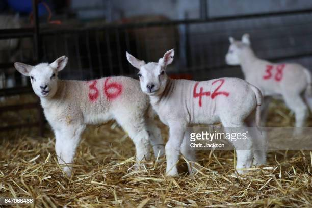 New-born lambs in the lambing pen on Gwndwnwal Farm during lambing season on March 2, 2017 in Brecon, Wales. Gwndwnwal Farm is a family run livestock...