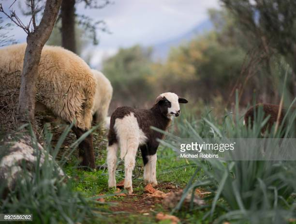newborn lambs in winter - nematode worm stock pictures, royalty-free photos & images