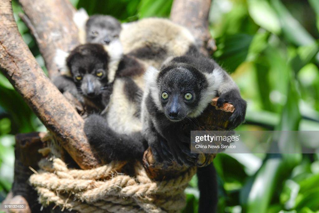 Lemur Variegatus Triplets Meet Public in Guangzhou