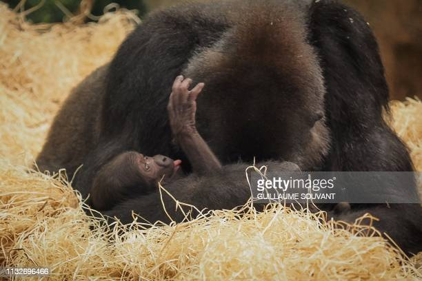 A newborn male gorilla rests in his mother's arms in his enclosure at the ZooParc of Beauval in SaintAignan Central France on March 23 nearly ten...