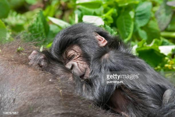 Newborn Mountain Gorilla