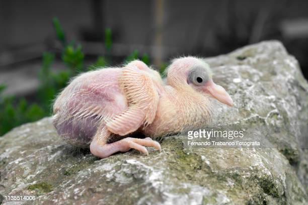 Newborn pigeon