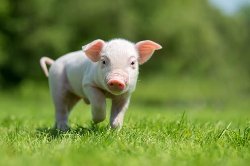 Newborn piglet on spring green grass on a farm 956025942