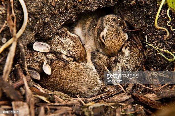 Newborn rabbits cuddle in hole