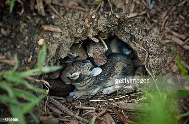Newborn rabbits nestled in a hole