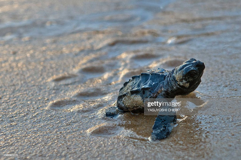BRAZIL-SEA TURTLE-TAMAR PROJECT : News Photo