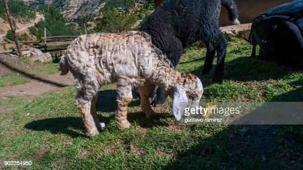 newborn sheep baby