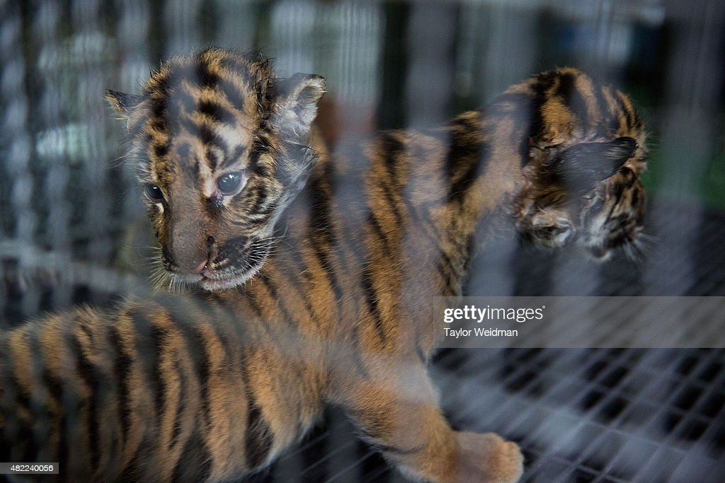 Thailand's Controversial Tiger Kingdom Seen On International Tiger Day : News Photo