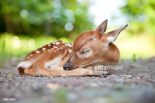 newborn white-tailed deer fawn sleeping in woods clearing - young animal stock pictures, royalty-free photos & images