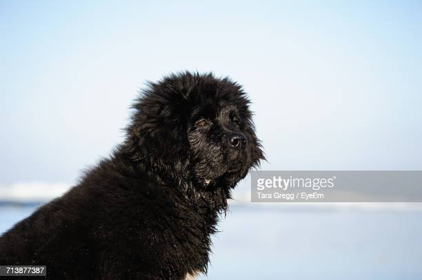 Newfoundland Dog Looking Away At Beach