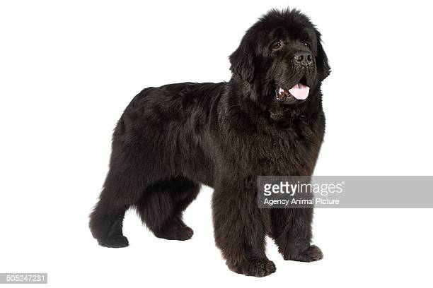 newfoundland dog - newfoundland dog stock photos and pictures
