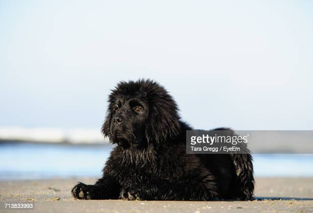 newfoundland dog relaxing at beach - newfoundland dog stock photos and pictures